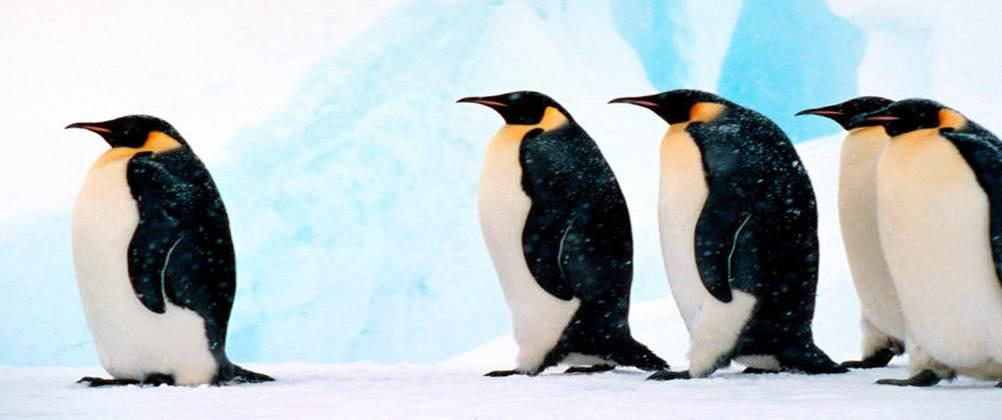 leadership-penguin